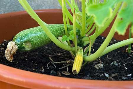 El primer calabacín a los 56 días de la siembra