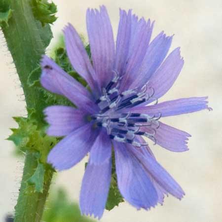 Flor de la escarola