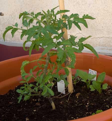 tomate con rabanitos