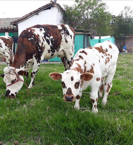 Vaca y ternero normando