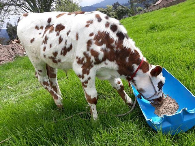 ganado lechero