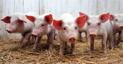 Cuatro datos interesantes sobre los cerdos