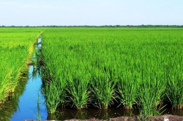 Como cultivar arroz