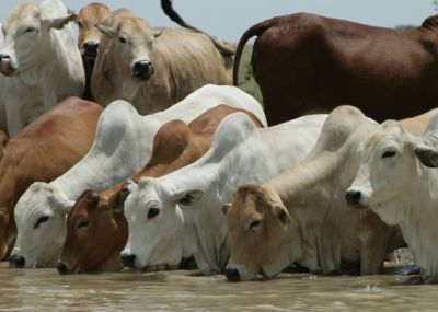 grupo de ganado Cebú