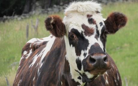 Vaca Normanda