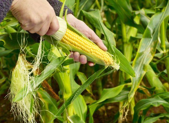 Datos curiosos sobre el maíz