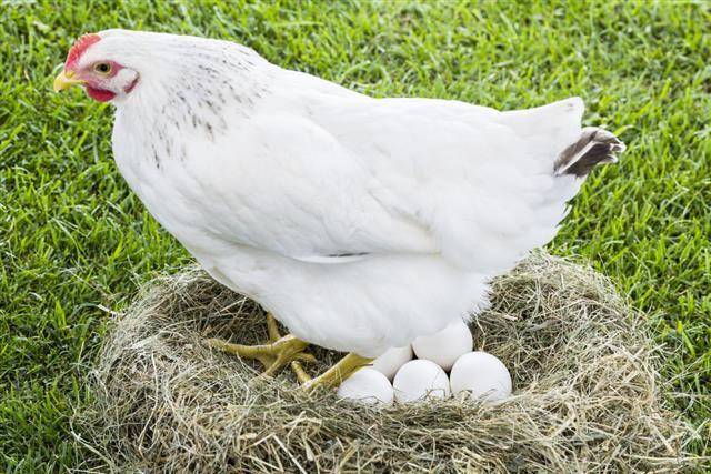 Ciclo de vida de las gallinas y pollos