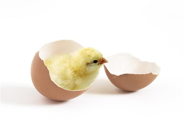pollo recien salido de cascaron