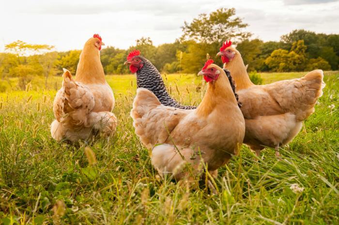 ¿A que edad las gallinas empiezan a poner huevos?