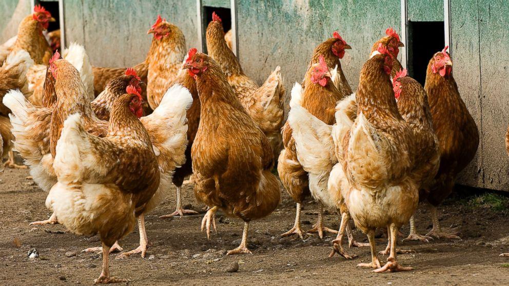 ¿Cuanto tiempo vive una gallina?