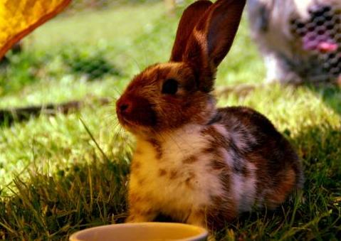 ¿Porque mi conejo se ha vuelto agresivo?