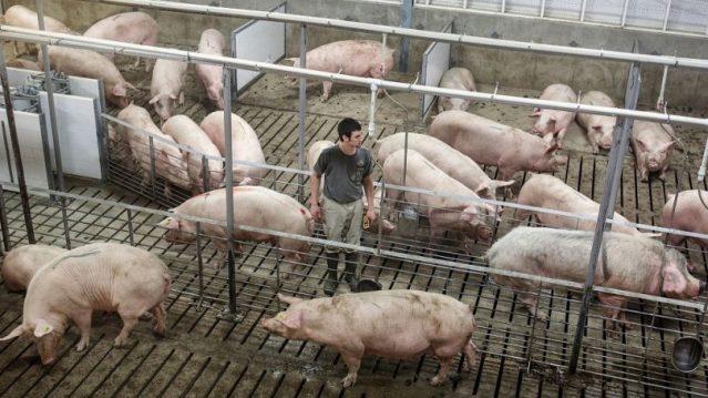 ¿Como es el proceso para criar y cuidar cerdos?