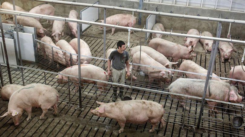 como criar cerdos de engorde