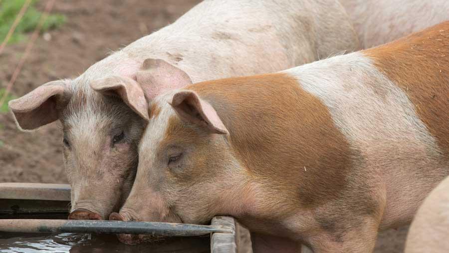 ¿Como cuidar cerdos de engorde?