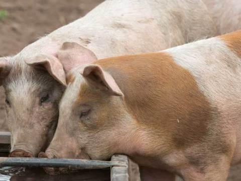 como criar cerdos para engordar y vender
