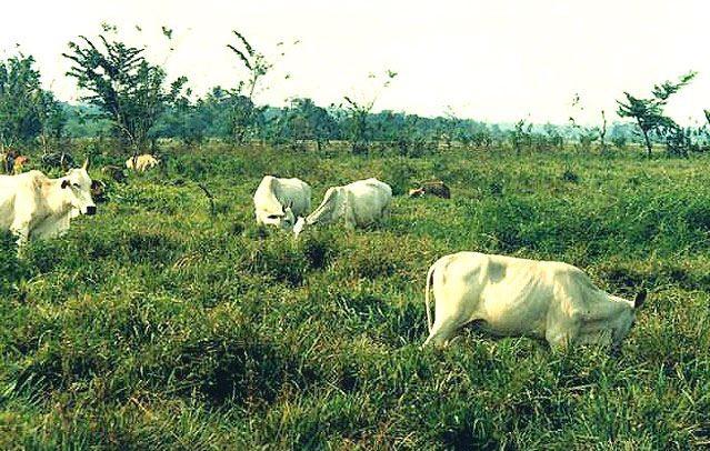 Mejores pastos para ganado lechero