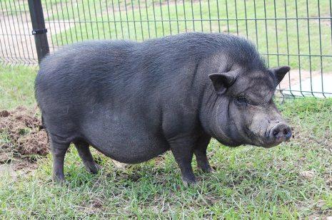 cerdo vietnam