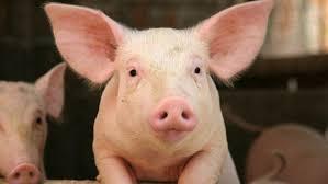 ¿Cuanto vive un cerdo?