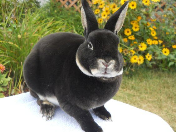 mini rex conejo