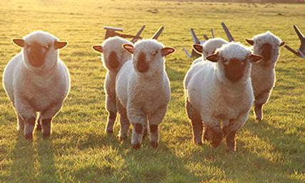 cría y reproducción de ovejas