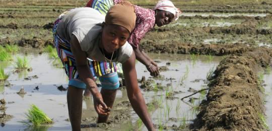 productores de arroz en africa