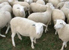 Cuantas hembras por macho en ovinos