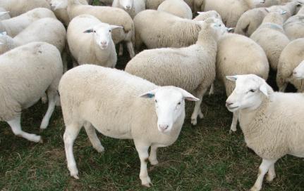 cantidad de ovejas por macho reproductor