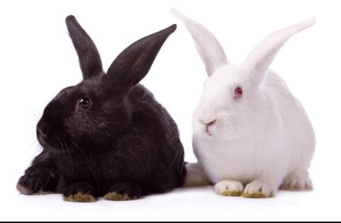 conejos como mascota