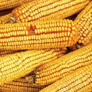 maiz abollado
