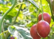 Cultivo de tomate de árbol