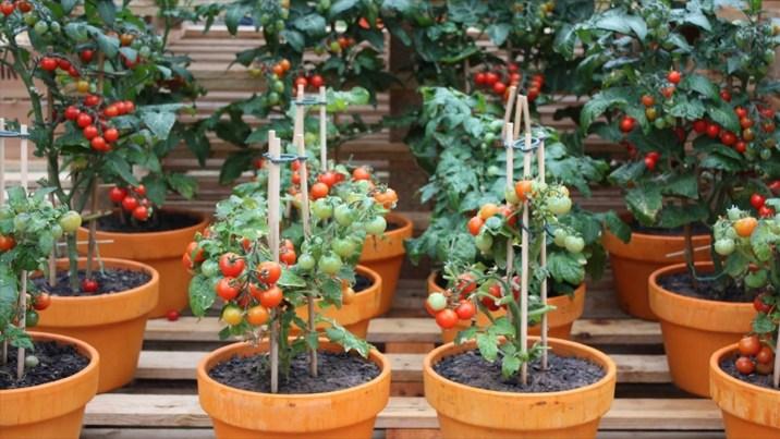 tomates en maceta