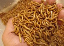 Comenzar un negocio de cultivo de gusanos de la harina: una guía completa
