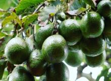 Cómo cultivar y podar un árbol de aguacate