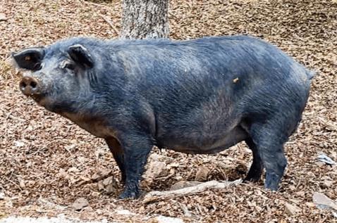 Cómo comenzar a criar cerdos de manera sostenible con bajo presupuesto