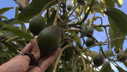 fertilizacion en arboles de aguacate