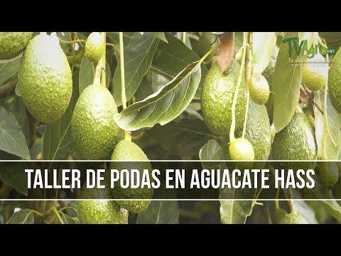 bioestimulacion en cultivos de aguacate