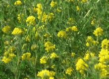Diagnóstico de la causa de la alfalfa amarilla