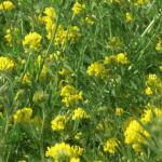 causas de la alfalfa amarilla