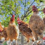 apareamiento de gallos y gallinas