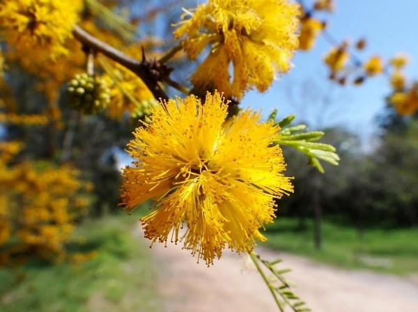 Flor del espinillo