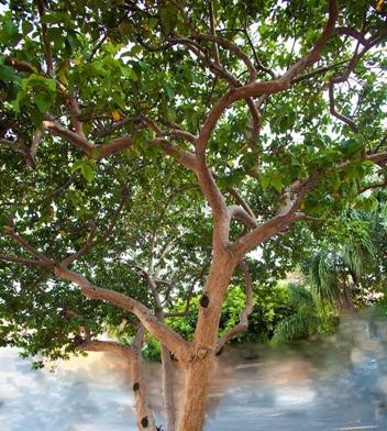 Árbol de guayabo