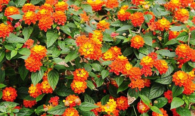Flores de la lantana