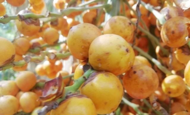 Fruto de butiá