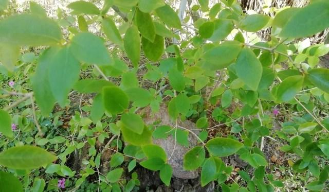 Árbol de pitanga pequeño