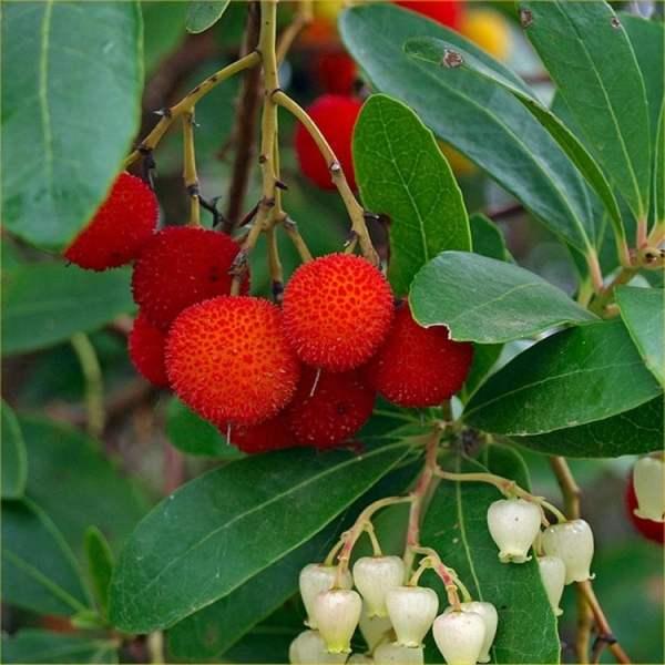 arbutus-strawberry-tree1-750x750