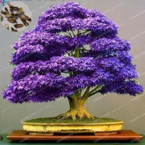 100-ger-ek-japon-mor-ak-aa-a-bonsai-a-ac
