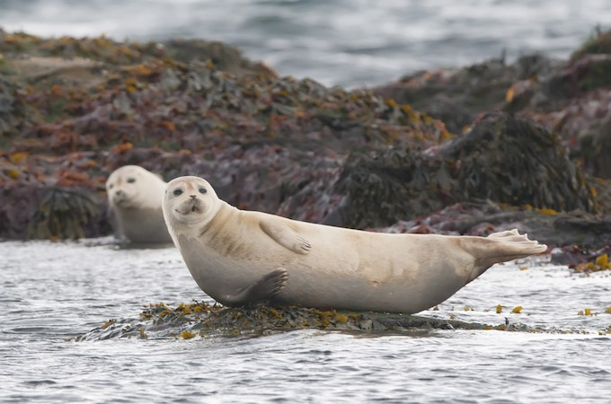 harbor-seal-iceland-shutterstock_135737954-680x450