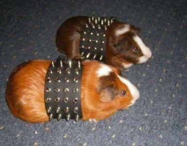 toilet-radio-guinea-pigs