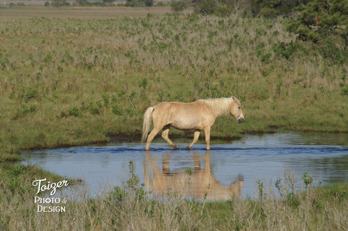 Chincoteague pony walking through pool of water