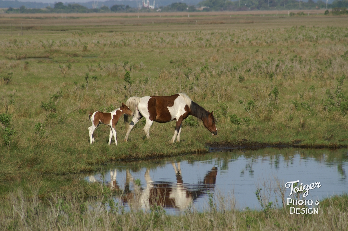 Chincoteague pony and foal near pool of water